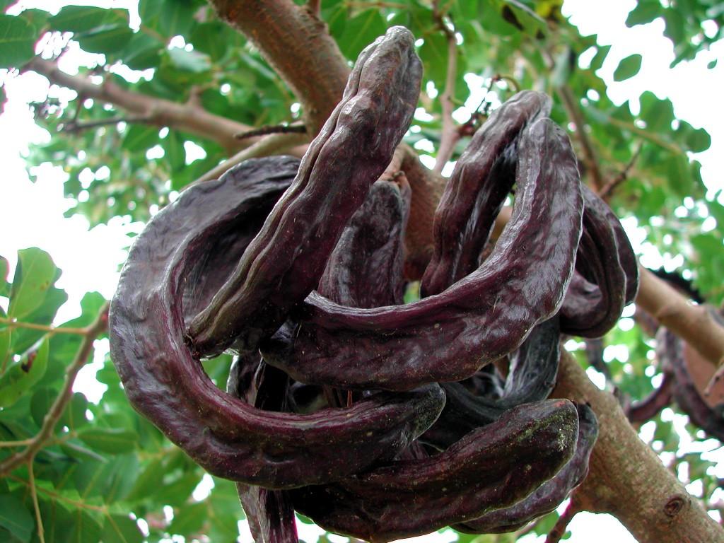 Carob fruit pods. [Photo from Wikipedia]