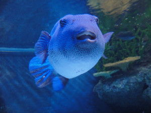 Plenty of large fish, like this huge grouper, are found in the life-sized fish tank.