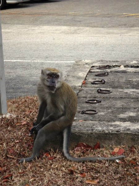 One of the MacRitchie monkeys that Anton so desperately wanted to see.
