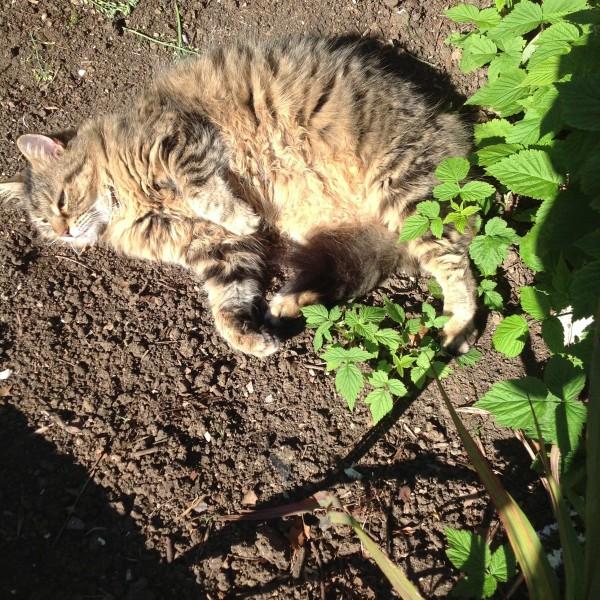 Tiger sunbathing in the garden, June 2014.